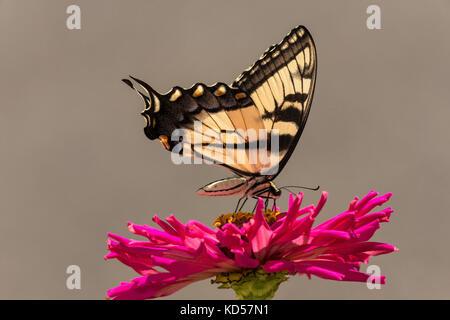 L'alimentation de l'est tiger swallowtail sur zinnia floraison. Banque D'Images