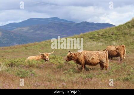 Les bovins des highlands en Ecosse, Highlands Banque D'Images