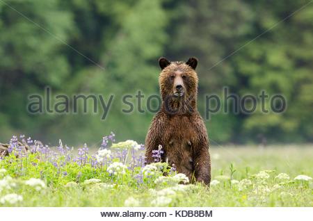 Une femelle ours brun, Ursus arctos, debout dans un patch de lupin de printemps. Banque D'Images