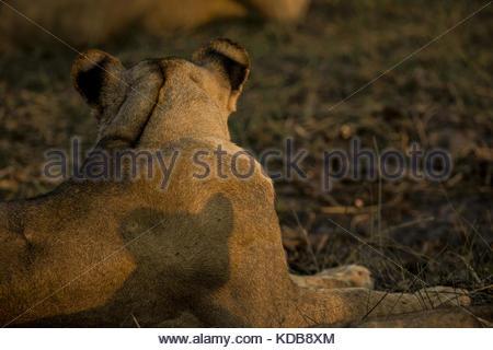 L'ombre d'un lion, Panthera leo, cub sur sa mère est de retour. Banque D'Images