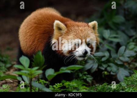 Un mignon petit panda dans la nature Banque D'Images