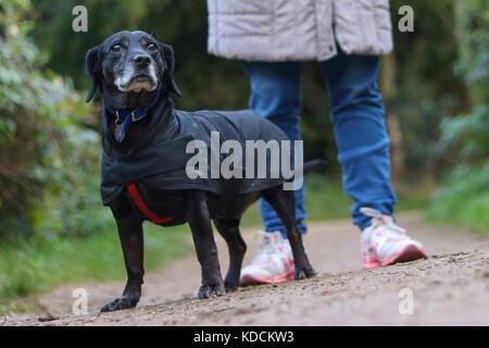 Croisement labrador teckel avec son propriétaire en promenade dans la campagne anglaise