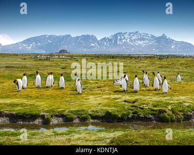 Un groupe de pingouins sur l'île de Géorgie du Sud à marcher en direction de la caméra sur une plaine herbeuse avec des montagnes enneigées en arrière-plan.