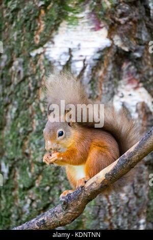 L'écureuil roux (Sciurus vulgaris) indigènes de l'uk est assis sur une branche de manger au rothiemurchus forest Banque D'Images