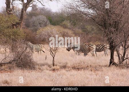 Troupeau de le zèbre de Burchell dans le Parc National Kruger, Afrique du Sud Banque D'Images