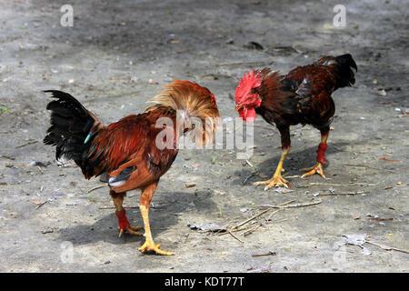 Deux sont prêts à se battre. La lutte contre le poulet. Banque D'Images