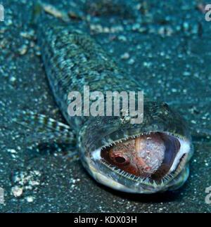 Lizardfish atlantique, synodus saurus. manger un petit scorpion (scorpaena sp.). Ils sont des prédateurs voraces Banque D'Images