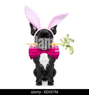 Chien bouledogue français à la carotte dans la bouche et les oreilles de lapin de Pâques ,isolé sur fond blanc Banque D'Images