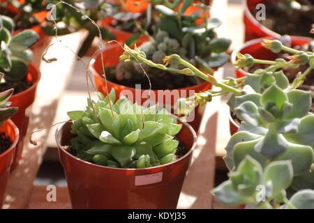 Cactus et plantes succulentes en fleurs au printemps