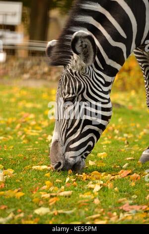 Le zèbre zèbre (Equus grevyi), également connu sous le nom de imperial zebra portrait d'automne. Banque D'Images