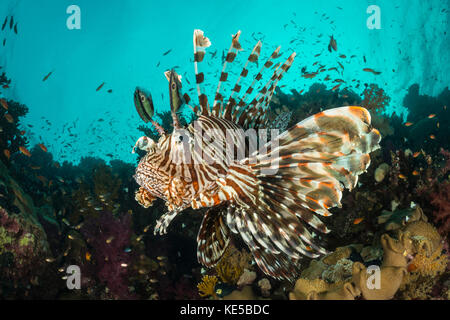 Poisson-papillon commun, pterois miles, Fury Shoal, Red Sea, Egypt Banque D'Images