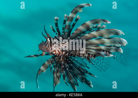 Poisson-papillon commun, pterois miles, Elphinstone Reef, red sea, Egypt Banque D'Images