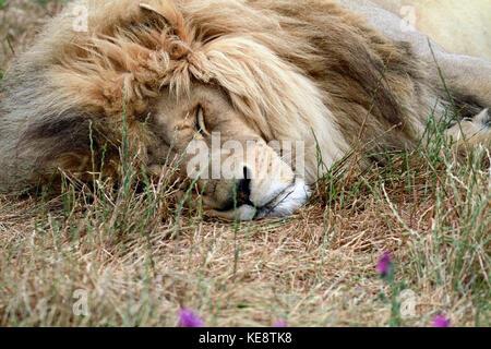 Lion mâle ((Panthera leo) dans le parc du Lion Drakenstein, Klapmuts, Province de Western Cape, Afrique du Sud.