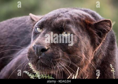Panthère noire couchée, mais très alerte, près de Bozeman, Montana, USA. Une panthère noire dans les Amériques est la variante de couleur melanistic jaguars noirs