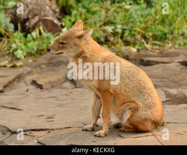 Le chacal doré (Canis aureus)