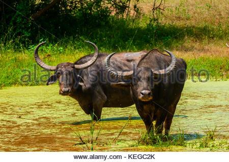 Wild Water buffalo, parc national de Yala, Province du Sud, Sri Lanka. Banque D'Images