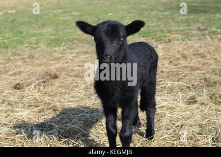 Peu de bébés animaux agneaux nés au printemps Banque D'Images