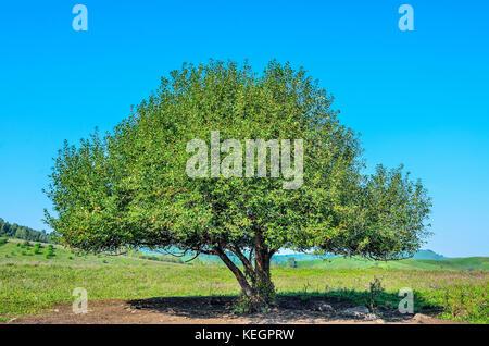 Seul arbre vert avec une végétation luxuriante sur la prairie en fleurs dans la vallée de montagne - paysage d'été Banque D'Images