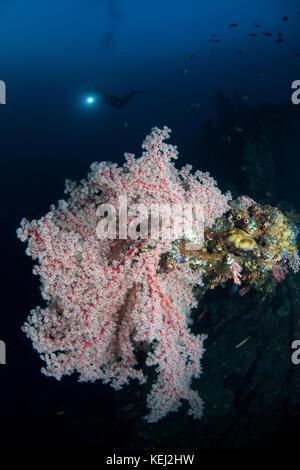Gorgonia et diver silhouette dans l'usat liberty amed bali Banque D'Images
