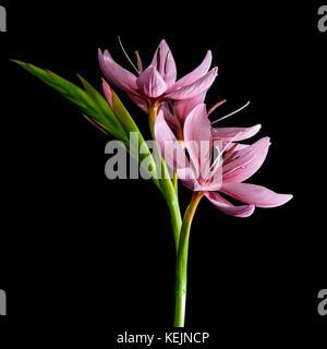 Un plan macro sur une petite lily rose pris sur un fond noir. Banque D'Images