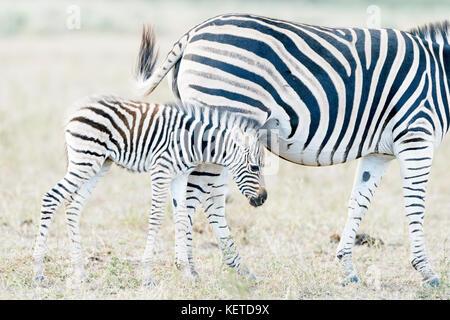 Zèbre des plaines (Equus quagga) poulain essayant de boire avec la mère, Kruger National Park, Afrique du Sud Banque D'Images