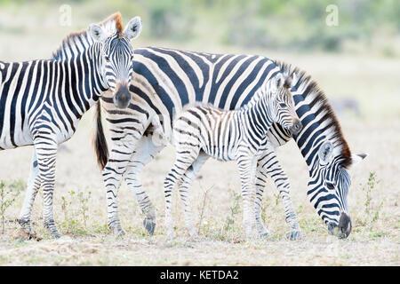Zèbre des plaines (Equus quagga) la mère et son poulain sur la savane, le parc national Kruger, Afrique du Sud Banque D'Images