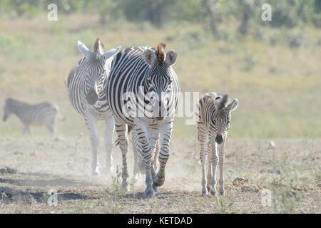 Zèbre des plaines (Equus quagga) mère et poulain marche sur la savane, le parc national Kruger, Afrique du Sud Banque D'Images