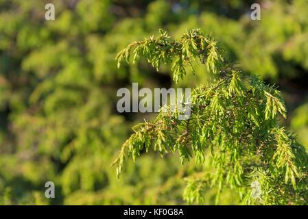 Genévrier. Juniperus communis. les branches d'un gros plan de genièvre Banque D'Images