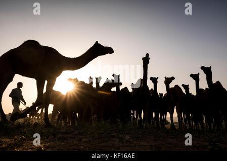 Pushkar, Inde. 24 octobre, 2017. pushkar camel juste. un éleveur d'assembler ses chameaux à un endroit dans le parc Banque D'Images