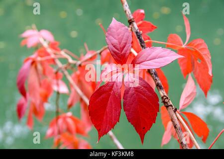 Vue rapprochée de la feuille rouge vif d'une vigne à l'automne, avec ses cinq dépliants, sur un fond vert. Banque D'Images