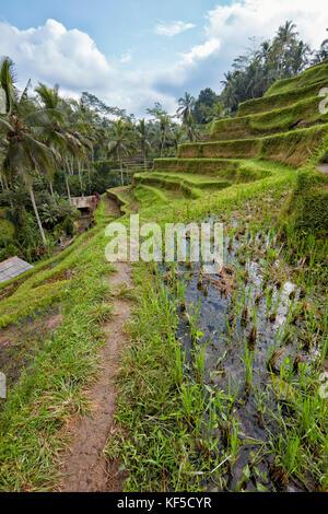 Tegalalang Terrasse de riz. Village de Tegalalang, Bali, Indonésie. Banque D'Images