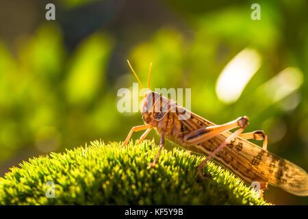 Sur l'herbe sauterelle