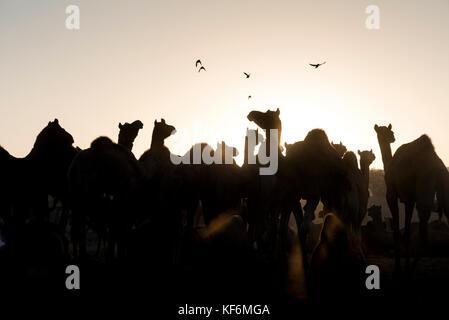 Pushkar, Inde. 25 octobre, 2017. Un matin scène à la foire de chameau. crédit: ravikanth kurma/Alamy live news Banque D'Images