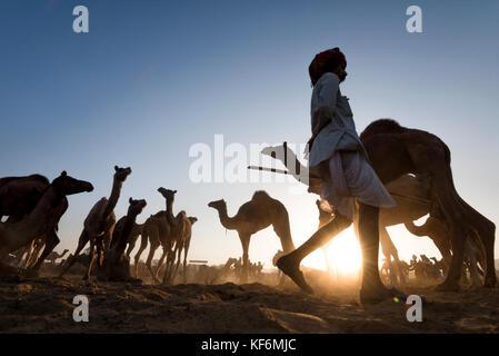 Pushkar, Inde. 25 octobre, 2017. un contrôle de herder ses chameaux dans la matinée. crédit: ravikanth kurma/Alamy Banque D'Images