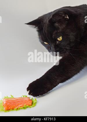 Funny animal concept: un chat noir, c'est voler une tranche de saumon mis sur la laitue Banque D'Images