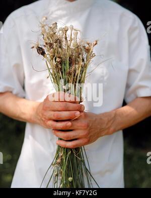 La France, de l'Arbois, second de cuisine yoann constanty détient l'ail sauvages fraîchement cueillis dans la campagne, région des vins du Jura