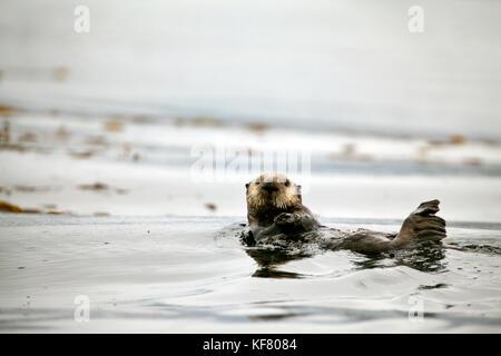 Usa, Alaska, Sitka, une loutre se nourrit dans un lit de varech dans la baie Sitka Banque D'Images