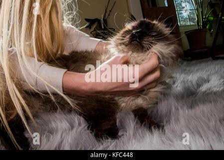 Un chat siamois Himalaya traite de l'attention de son propriétaire. Banque D'Images
