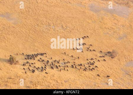 Vue aérienne d'un troupeau de buffle (Syncerus caffir) sur l'adoption, dans le Delta de l'Okavango, au Botswana Banque D'Images