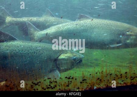 WA14091-00...WASHINGTON - le saumon fraye l'échelle à poissons aux écluses Hiram M. Chittenden dans le quartier Banque D'Images