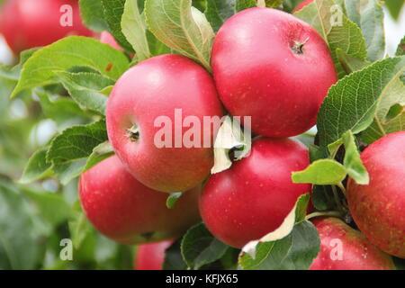 Malus domestica 'Découverte' les pommes, un dessert en début de saison, fruits arrivant à maturité dans un jardin Banque D'Images