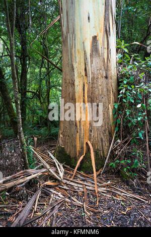 Dicksonia antarctica Rain forest à Melba Gully State Park, Great Otway National Park, Vitoria, de l'Australie. Banque D'Images