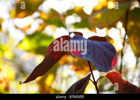 Impression d'automne,la forêt dans l'automne,lac,westport Stoke on Trent, Staffordshire, Royaume-Uni. Banque D'Images