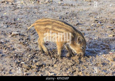 Sanglier d'Europe centrale (Sus scrofa) squeaker, jeune animal, également connu sous le nom de suidés sauvages eurasiennes ou de cochon sauvage, la recherche de nourriture dans la boue, Allemagne