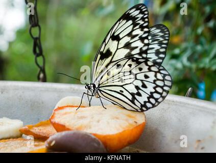 Arbre généalogique blanche papillon nymphe se nourrissant d'apple en captivité. Banque D'Images