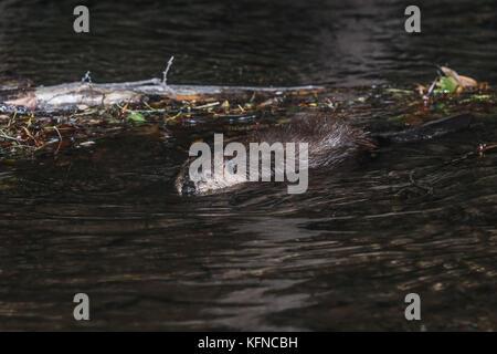 Les barrages de castors dans l'écosystème la Cuenca los ojos de Sonora au Mexique. *LuisGutierrez NortePhoto.com:Photo Banque D'Images