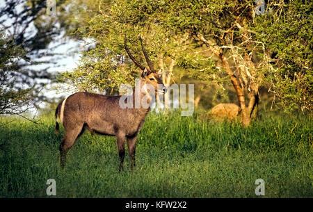 Un mâle cobe à croissant (Kobus ellipsiprymnus) s'interrompt pendant le pâturage à poser dans son milieu naturel, Banque D'Images
