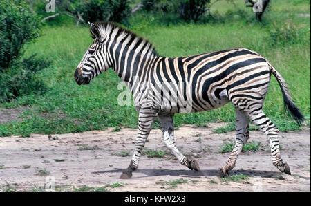 Le zèbre de Burchell (Equus quagga burchellii) est une sous-espèce du sud de la politique commune de zèbre des plaines, Banque D'Images