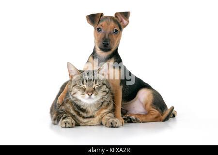 Chien - Chihuahua - semaine 7 croix teckel chiot avec vieux chat tigré Banque D'Images