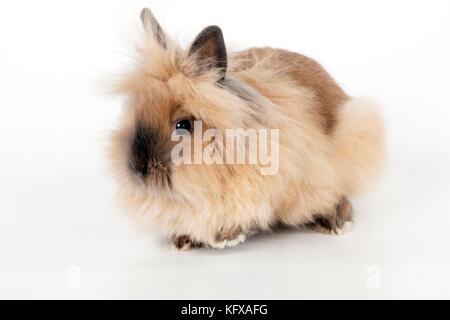 Lionhead rabbit -